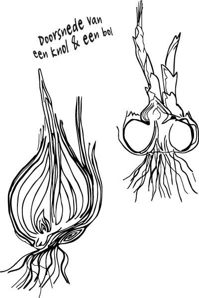doorsnede-bol-en-knol-illustratie