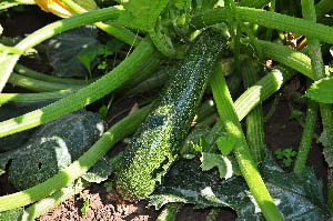courgette-moestuin