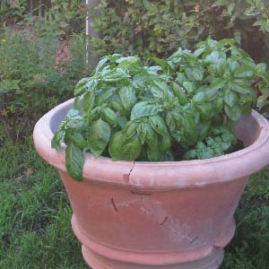 basilicum-in-pot