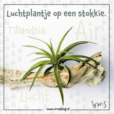 luchtplantje-op-stok-irmsblog