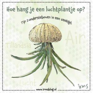 luchtplantje-zeeegel