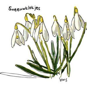 sneeuwklokjes-illustratie-irms